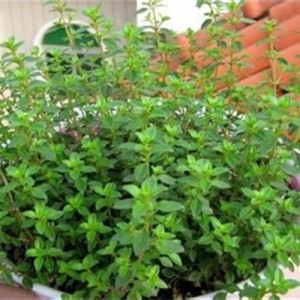 Lemon Thyme Plant