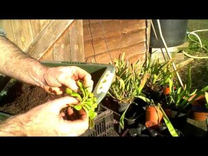 Tips on Repotting Venus Fly Traps