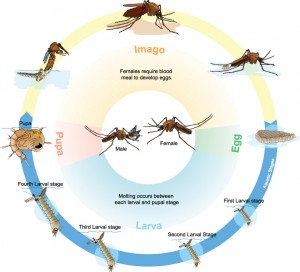 Culex mosquito life cycle