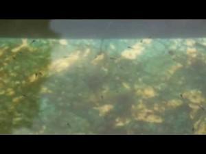 Mosquito Fish Control for Mosquito Control