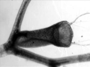 Bladderwort - An Aquatic Carnivorous Plant
