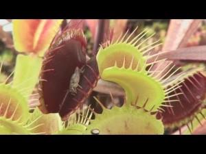 Growing Venus Flytraps